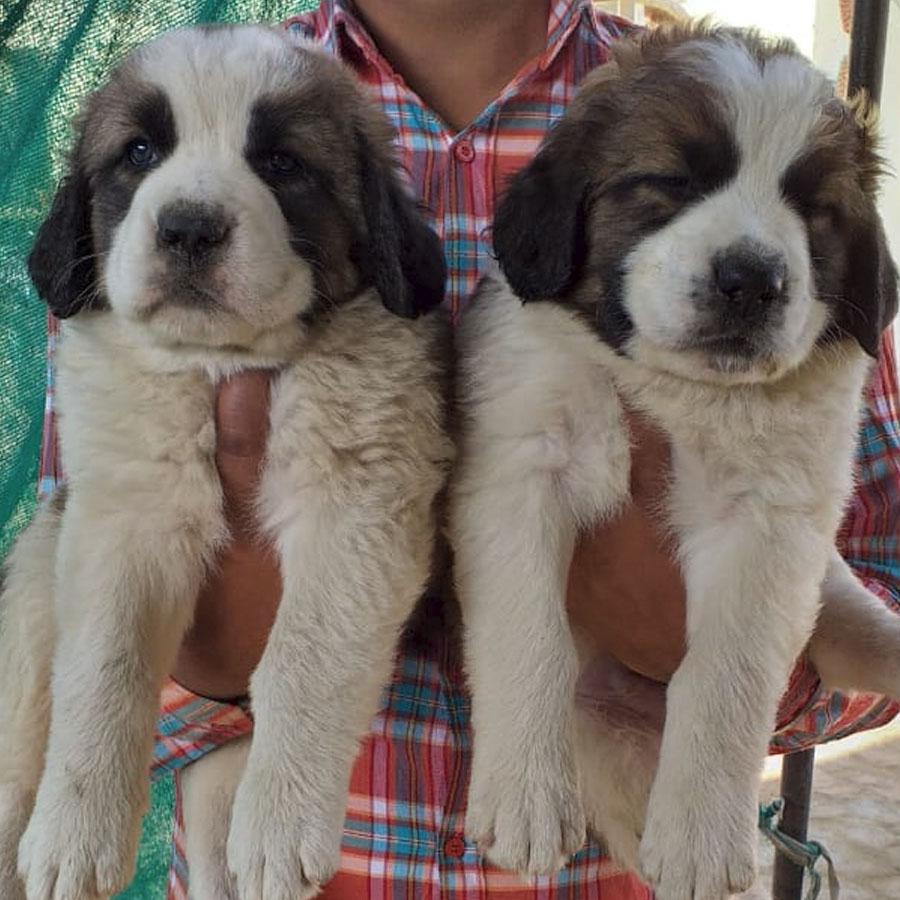 Saint Bernard in Chandigarh and Jalandhar | Sri Sai Pet World